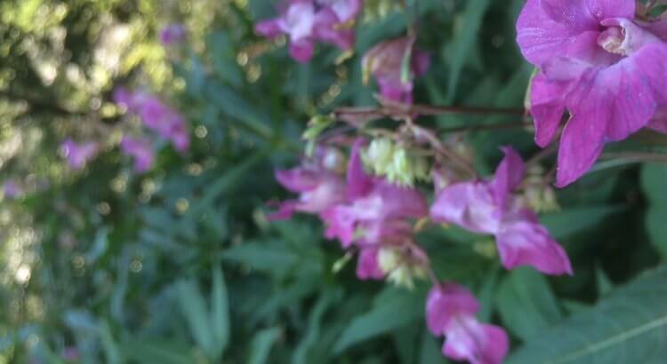 Eine lila Blüte mitten im Wald. Nektar für den Honig.