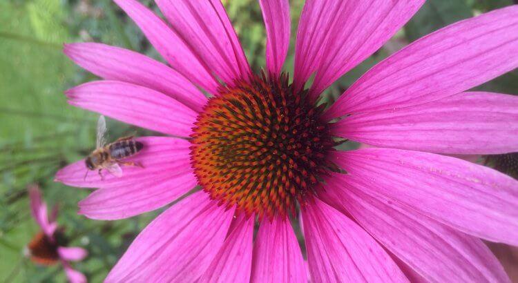 Eine Pollen sammelnde Biene in meinem Garten. Auffütterung