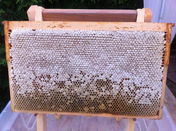 Eine volle Honigwabe - bereit für die Honigernte