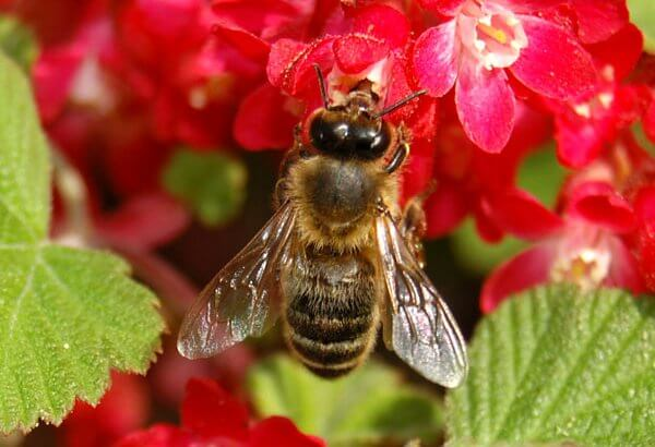 Biene sammelt Nektar an einer Blüte. Ob sie wohl den Honig-Futterteig braucht?