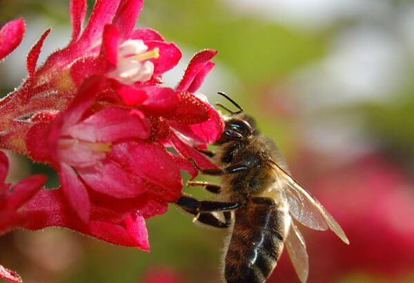 Eine Biene ist fleißig am Nektar sammeln. Braucht sie extra Winterfutter?
