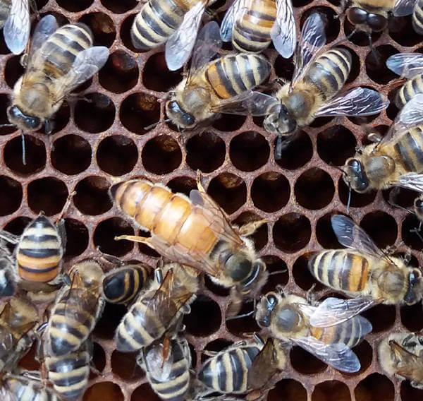 Eine Bienenkönigin inmitten ihrer Bienen