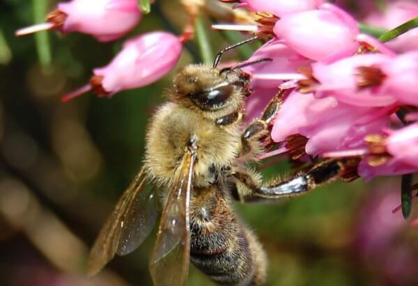 Fleißige Biene am Nektar sammeln. Noch ist kein Bienenstich vorprogrammiert.