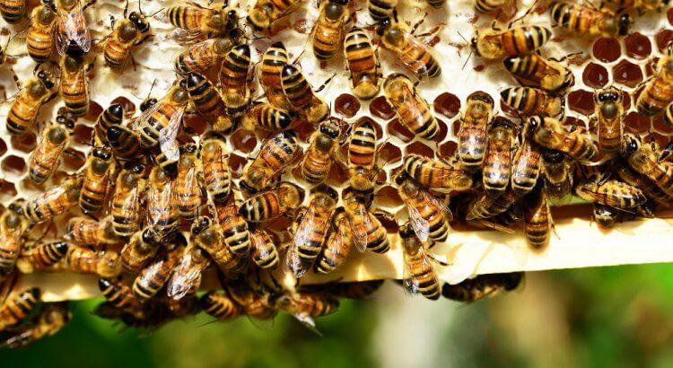 Brutwaben mit Honig. Stäkrt Propolis das Immunsystem?