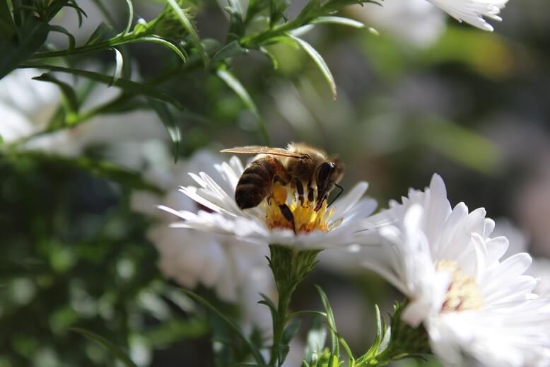 Eine Biene sammelt frischen leckeren Nektar.