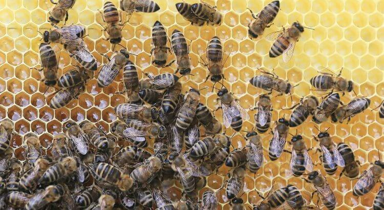 Bienen auf einer Honigwabe. Propolis flüssig in spe.